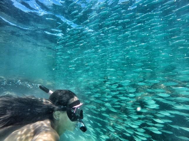 Cardume lindo e gigante de sardinha!
